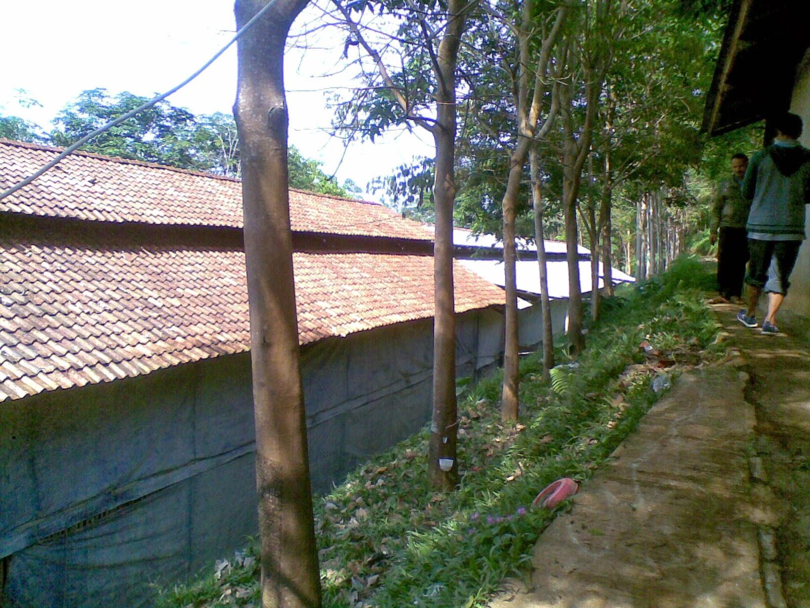 09082014(007) Jual tanah luas 5 Ha, kebun karet yang sudah panen jual tanah di sukaresmi