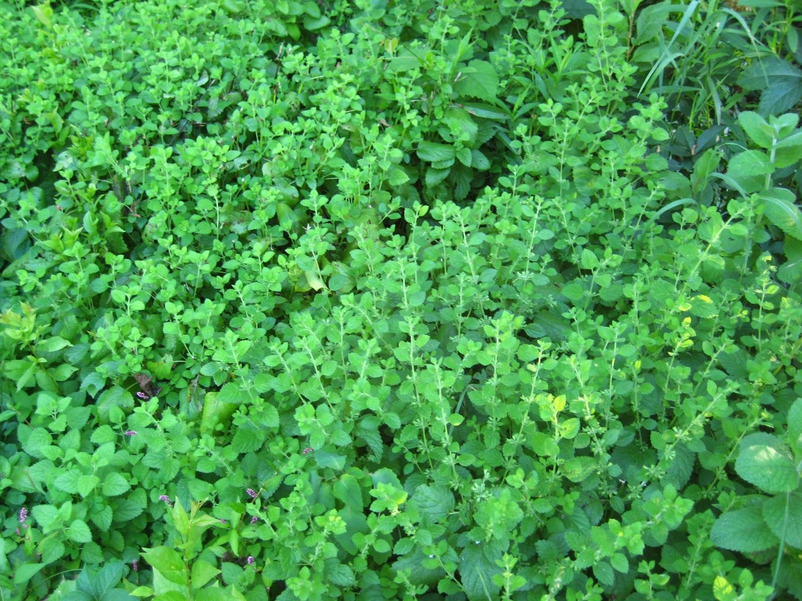 Meadow Muffin Gardens: Herbal Alternative To Moth Balls