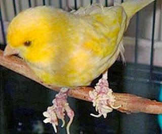 Jamur pada kaki burung kenari