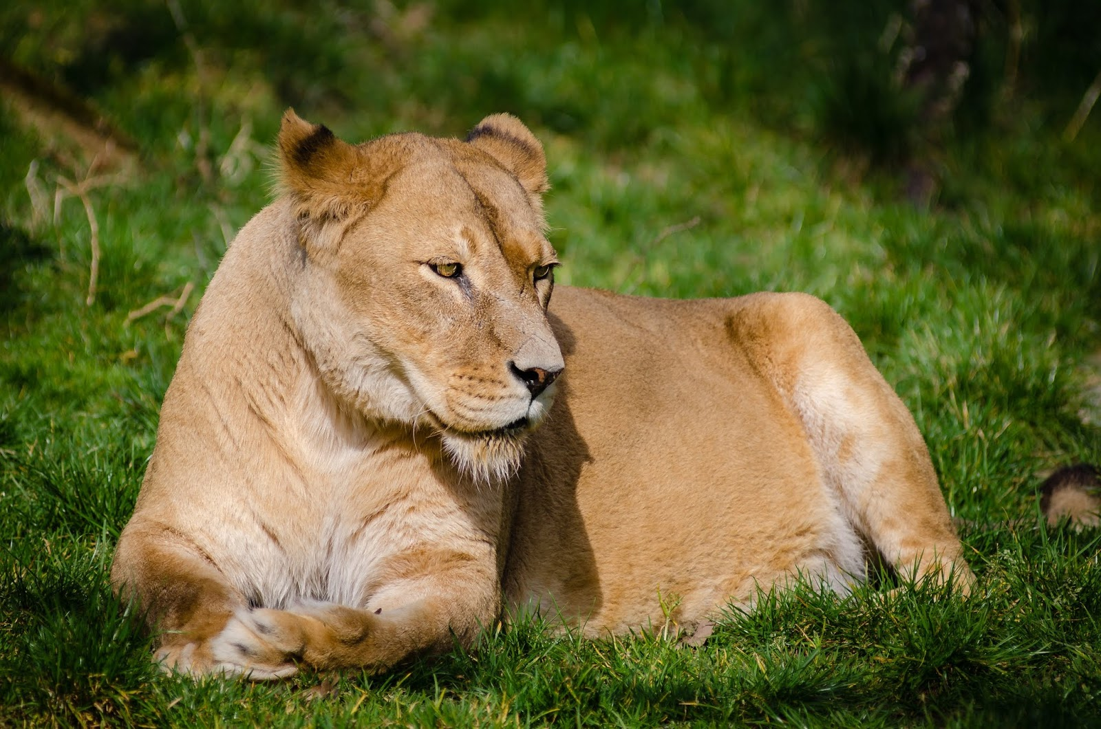 brown-lioness-laying-on-green-grass-during-daytime,lion images