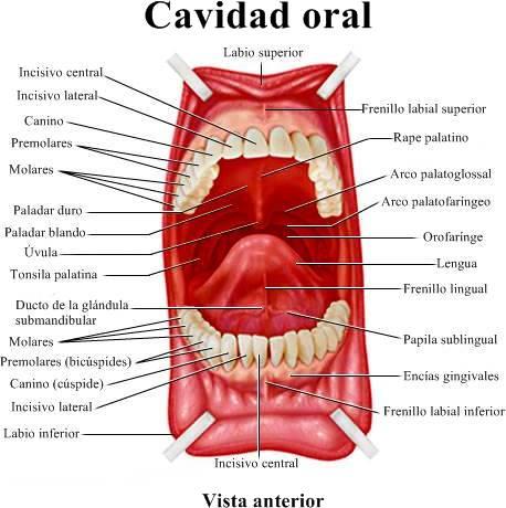Anatomía de la boca, la lengua, las encías, dientes, el paladar (la ...