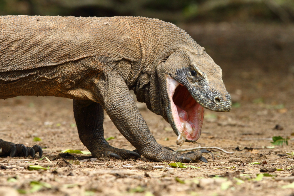 Nature and Science from ALB: The Sex Life of the Komodo Dragon