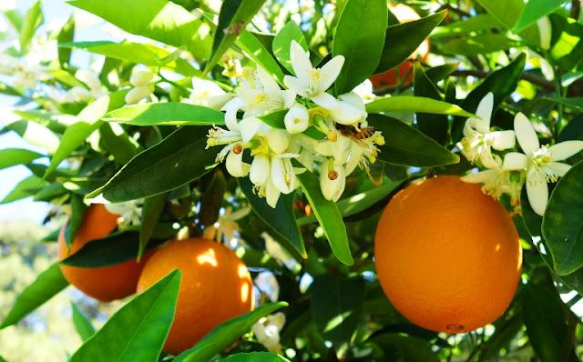 Περιμένοντας την πορτοκαλιά