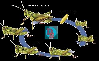 dapursoal.com - daur hidup belalang