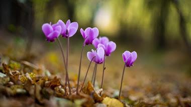Especies botánicas de Cyclamen para el jardín