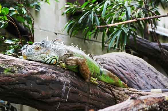 Iguana the animal