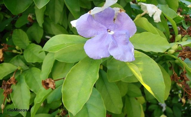 Flor del Jazmín de Paraguay Brunfelsia pauciflora