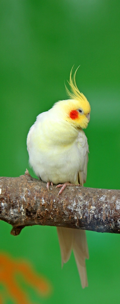 Picture of a beautiful cockatiel.