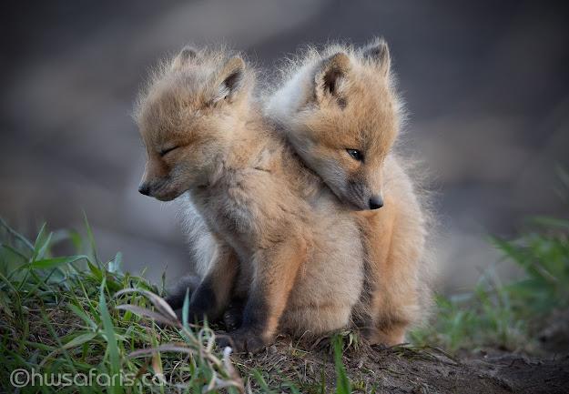 Fox Kits huddling for warmth