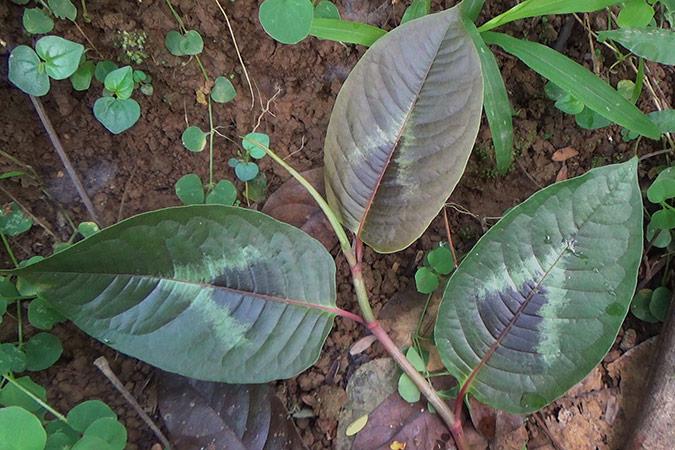 Dlium China knotweed (Persicaria chinensis)