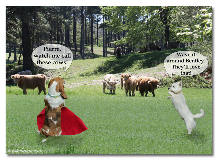 Basset Hound with red cape and Westie cheering him on with Scottish Cows