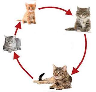 Tahapan siklus hidup hewan Kucing www.simplenew.me
