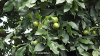 Glossy leaves with fruits - Elizabeth Park, West Hartford, CT