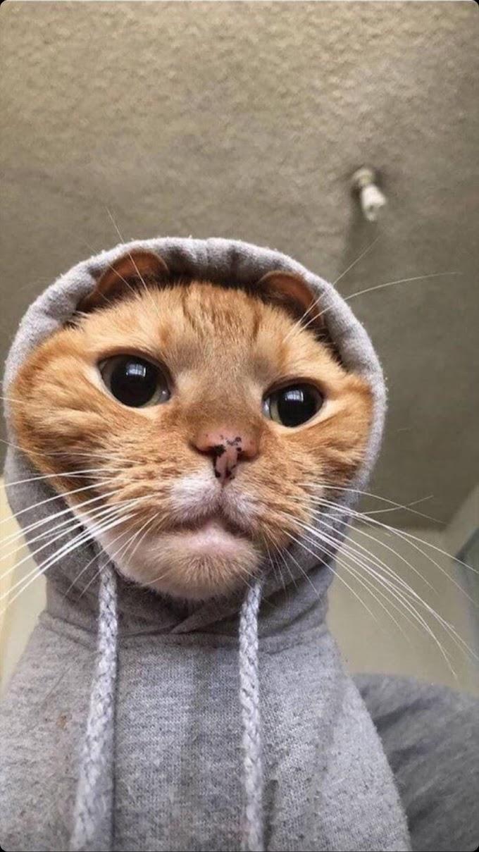 Papel de Parede Gato Tirando Selfie para Celular