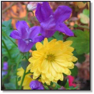 Chrysanthemen mit Glockenblumen