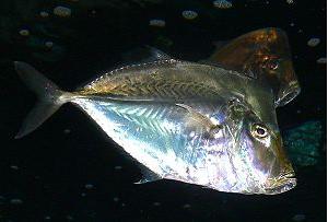 Ikan Hias Air Laut Jackfish