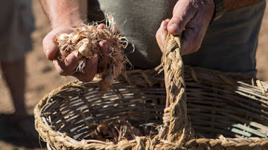 Azafrán de la Mancha. La Alhambra recupera el cultivo medieval de azafrán en las huertas medievales