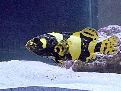 Ikan Kerapu Emas Akuarium Ikan Hias