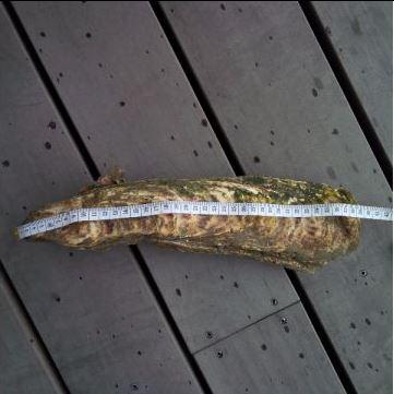 Japanse oester, huitre, 참굴,zwininstitut flamand mer, VLIZ,Wereldrecord-oester , Belgische kust