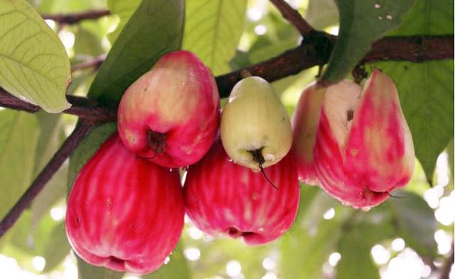 jambu dersono atau jambu jamaica