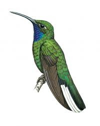 Campylopterus ensipennis