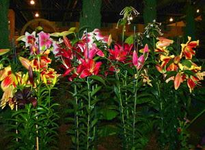 cara-merawat-bunga-lily.jpg