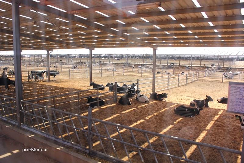 Almarai Dairy Farm And Factory Visit