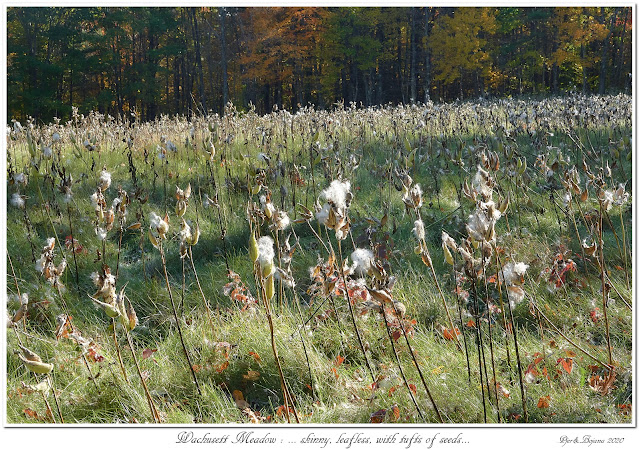 Wachusett Meadow: ... skinny, leafless, with tufts of seeds...