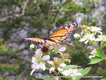 A Monarch on Blackberry Blossoms