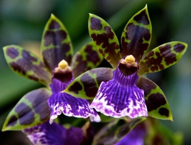 Gambar Bunga Anggrek Zygopetallum