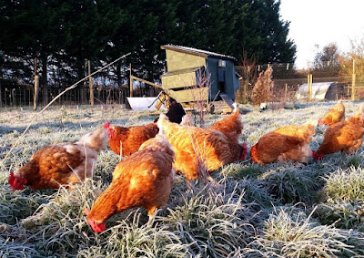 Chickens in the frost on the HenSafe smallholding