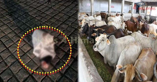 हिमाचल: पॉलिथीन में बंधा बीच बाजार फेंका मिला गौवंश का कटा पैर, लोगों  का उबला खून