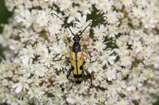 Another shot of the Black & Yellow Longhorn