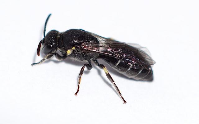 Hylaeus difformis female