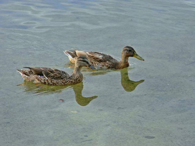 kaczki, woda, Niesłysz, Niesulice