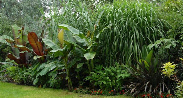 CAN YOU GROW A BANANA TREE IN THE UK?