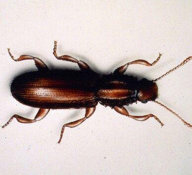 Mosquitos carcoma - Como eliminar la carcoma de la madera ...