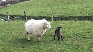 Cheviot Sheep Disadvantages, Advantages, Facts, Price
