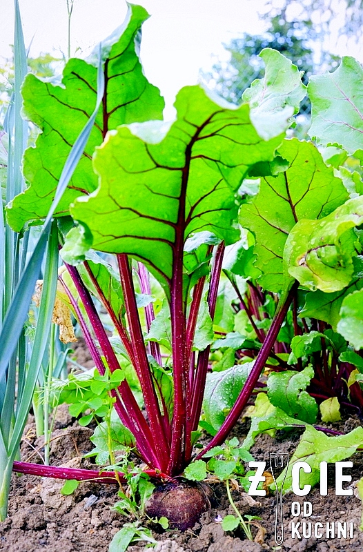 botwinka, burak lisciowy, szparagi, salatka, kasza jaglana, kwiaty jadalne, wiosenna salatka, kwiaty szczypiorku, wiosna na talerzu, zycie od kuchni, czerwiec w kuchni, sezonowo czerwiec