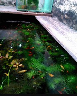 Tips Perawatan ikan platy di kolam