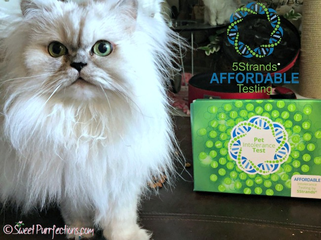 silver shaded Persian cat with 5Strands box