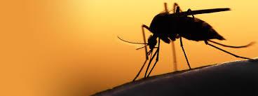 mosquito hack cuts dengue