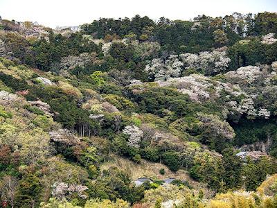 Yama-zakura (Cerasus jamasakura): Kita-kamakura