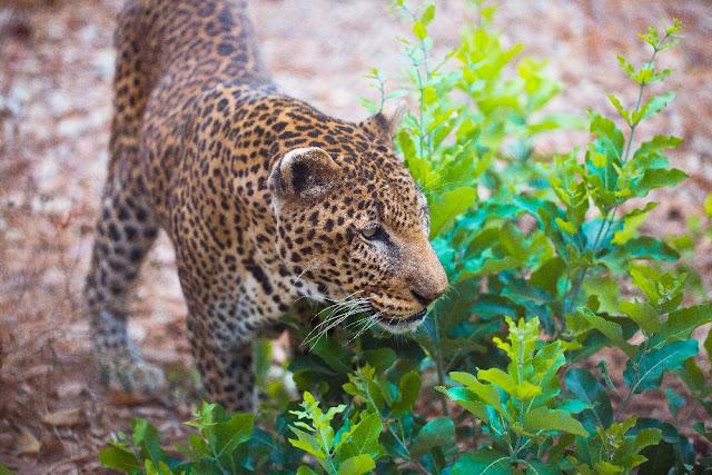 LE PARC NATIONAL DU NIOKOLO KOBA : Parc, animaux, visite, tourisme, sauvage, oiseaux, LEUKSENEGAL, Dakar, Sénégal, Afrique
