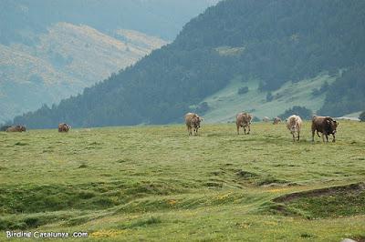 Vacas en el Pla de Beret