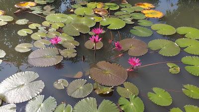 Red Lotus - Roter Lotus