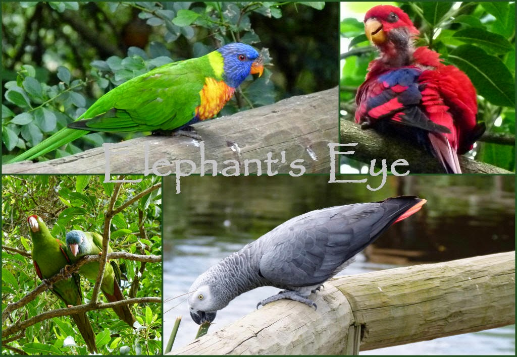 Green-naped Lorikeet (Western New Guinea) moultng Eclectus Parrot (New Guinea and Solomon Islands) ?? and Timneh Grey Parrot (C and W Africa)