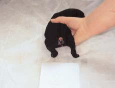 Operasi Bedah Kosmetik Hewan : Potong Ekor (Tail Docking/Caudectomy)