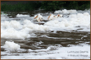 Pelicans in foam in Wascana Creek - photo by Shelley Banks