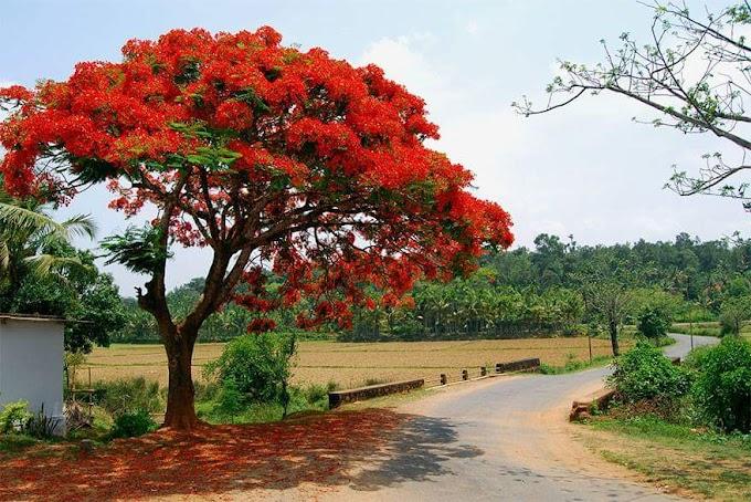 फूल अरमानों का